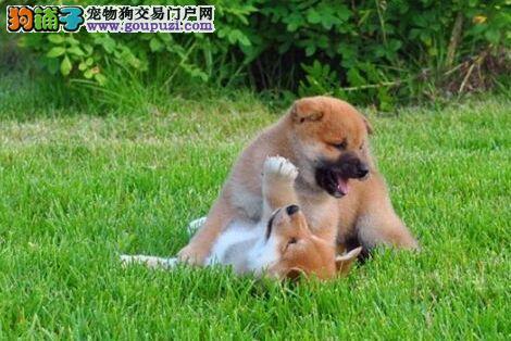颜色全品相佳的柴犬纯种宝宝热卖中上门可见父母