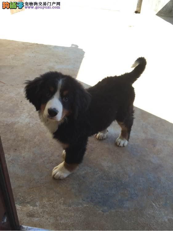 出售纯种健康的伯恩山幼犬CKU认证品质绝对保障