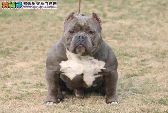 顶级优秀的纯种郑州美国恶霸犬热销中价格美丽品质优良1
