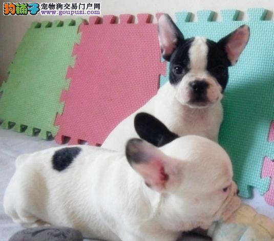 广州哪里有繁殖法国斗牛犬 纯种法国斗牛犬多少钱