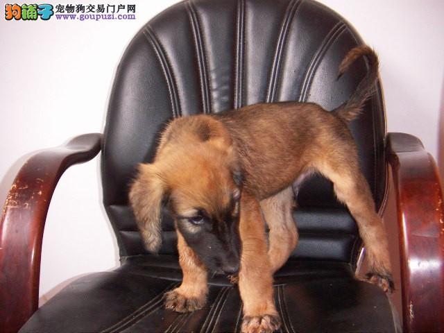 出售正宗血统优秀的阿富汗猎犬诚信经营三包终身协议