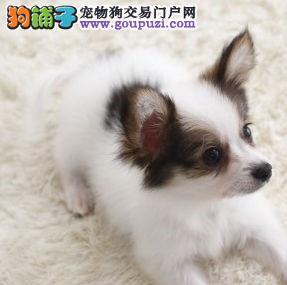 天津繁育出售高品质的蝴蝶犬宝宝信誉保证健康纯种保证