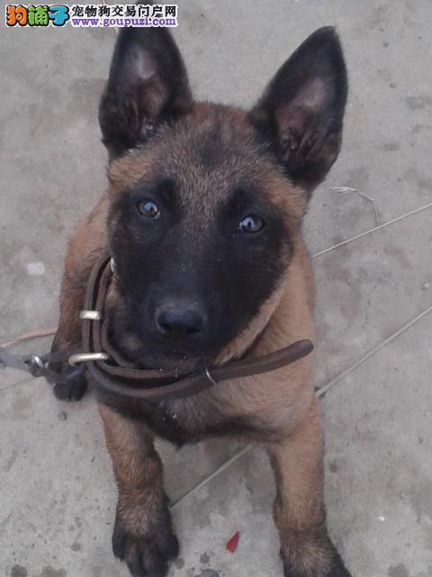 龙岩市出售马犬幼犬 可视频看狗 全国包邮 签售后协议