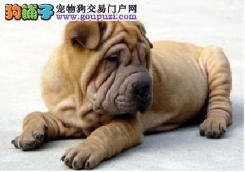 深圳超可爱沙皮幼犬 适应能力强血统纯正聪明好驯养