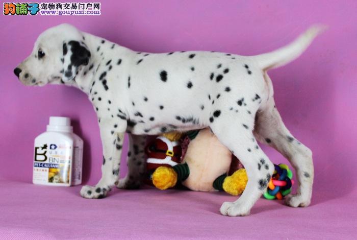 颜色全品相佳的斑点狗纯种宝宝热卖中外地可空运已驱虫