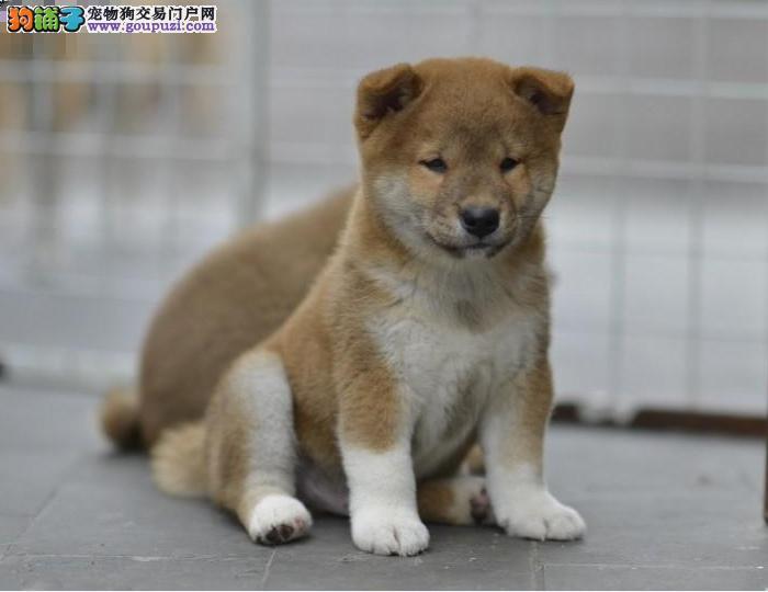 精品柴犬 CKU认证 保纯种健康 可签协议
