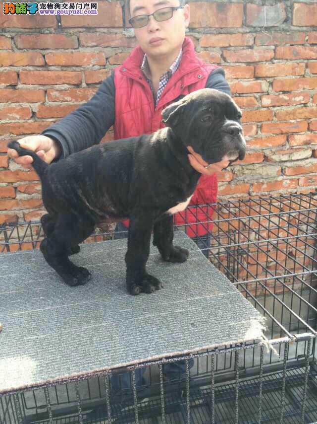 嘉兴卡斯罗幼犬纯种出售 工作犬中型犬短毛专业培育
