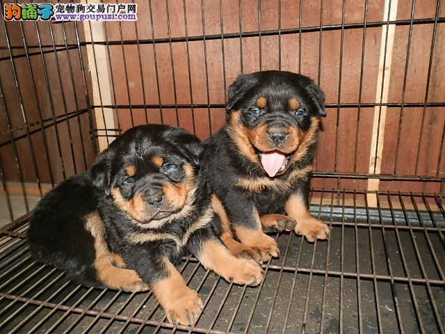 北京纯正德系罗威纳防暴犬出售 大骨量宽嘴罗威纳幼犬