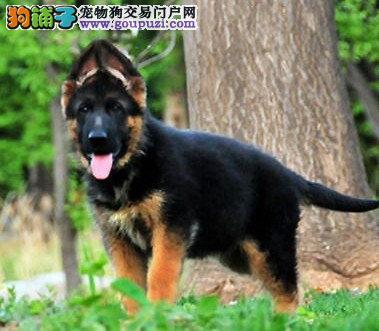 苏州出售大丹犬公母都有品质一流期待您的来电咨询