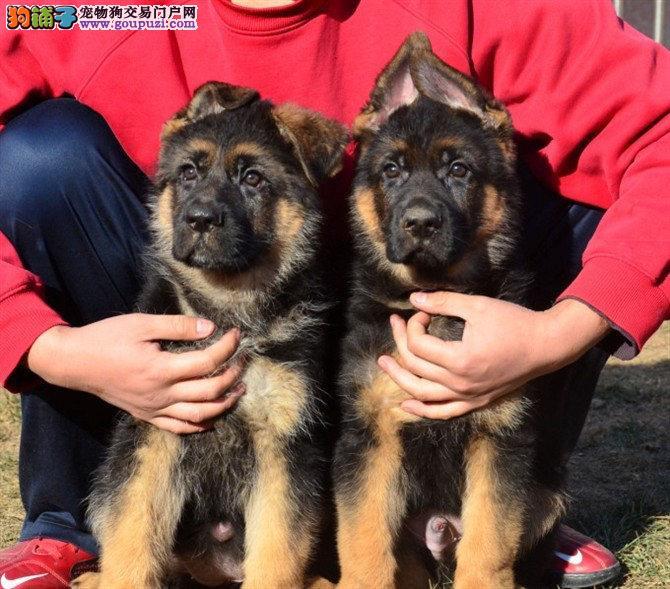 渭南市出售大丹犬幼犬公母都有疫苗齐全公母都有签协议
