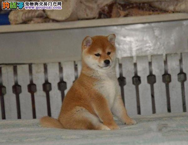 贵阳自家机灵聪慧柴犬出售 日系名犬 忠诚小柴