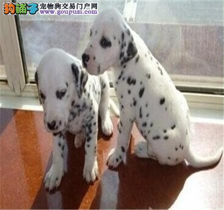 斑点狗在选购时需要注意的几大原则