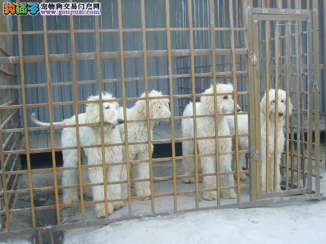 品质健康有保障阿富汗猎犬热卖中签署各项质保合同