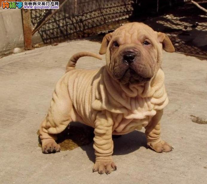 淄博纯种高品质沙皮幼犬价格实惠 可送货 签署质保协议
