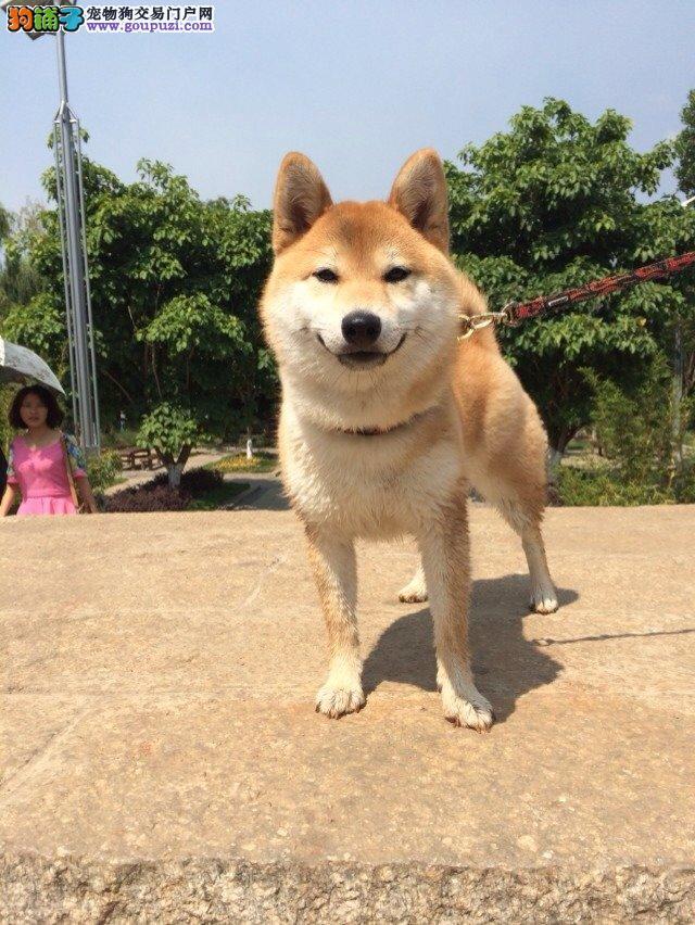 高品质赤柴黑柴颜色齐全 东莞高端精品日系柴犬出售