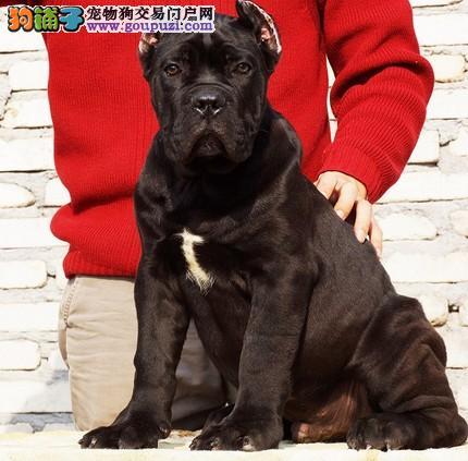 高端卡斯罗犬幼犬 公母均有颜色齐全 可送货上门