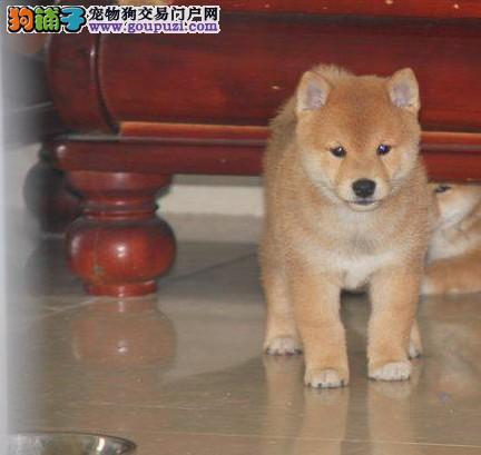 日本直进 血统保证 宜春就能买到的好柴犬 品质极佳