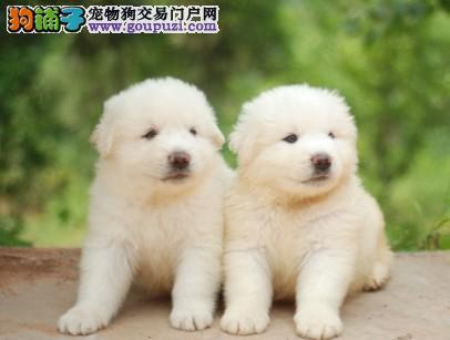呼和浩特大白熊幼犬出售品相血统一级棒 忠实的守护者