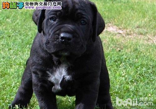 高端卡斯罗犬幼犬 精心繁育品质优良 三包终生协议