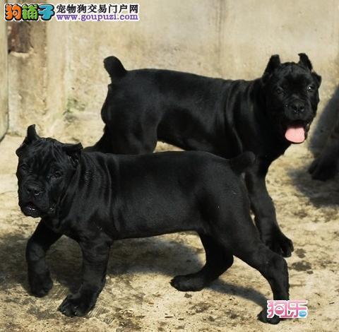 济南实体店低价促销赛级卡斯罗犬幼犬品质一流三包终身协议