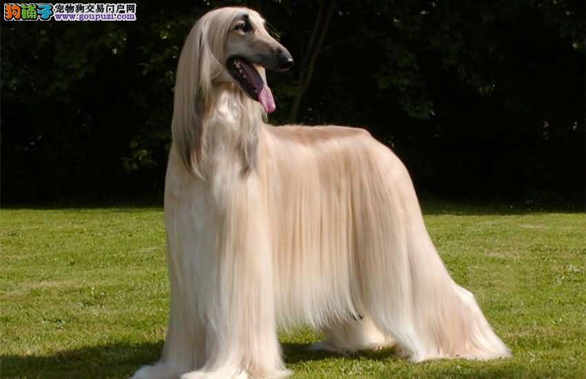 犬舍低价热销 阿富汗猎犬血统纯正微信看狗可见父母