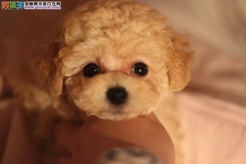莆田茶杯犬茶杯泰迪 微型泰迪出售