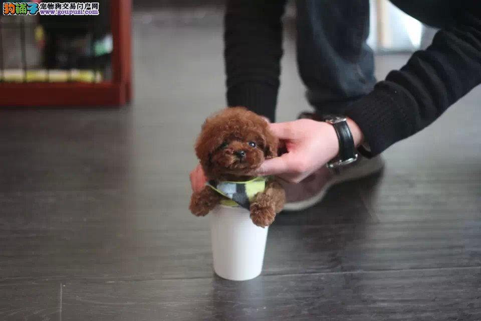 CKU犬舍认证出售纯种茶杯犬喜欢它的快来