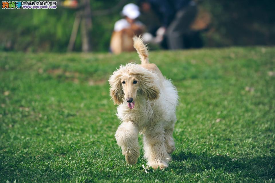 徐州犬舍精心繁殖纯血统高品质阿富汗猎犬品相好特价