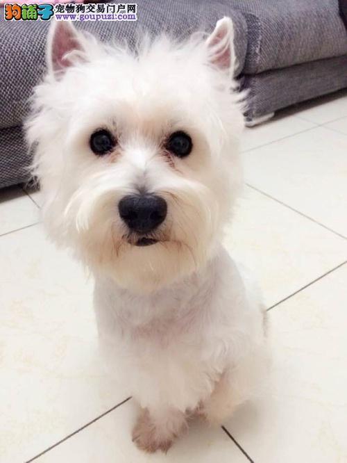 黄石市出售西高地白梗犬 可视频看狗 可上门挑选 纯种
