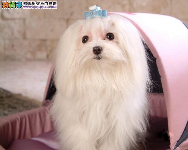 大连市出售马尔济斯犬 高品质好血统 价格优惠