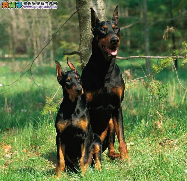 纯种德系杜宾犬 骨架大头版重色素深 2到3个月幼1