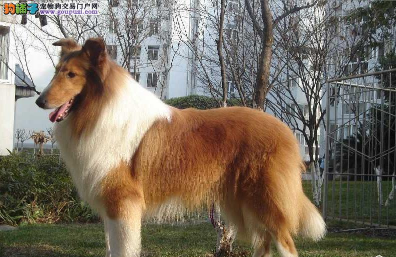 纯种苏格兰牧羊犬 赛级血统 品相完美 品质保证 签协议