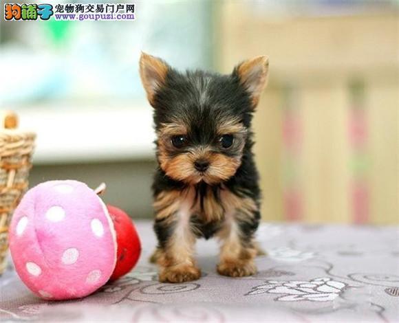纯种约克夏幼犬 可办理血统证书 专业信誉服务