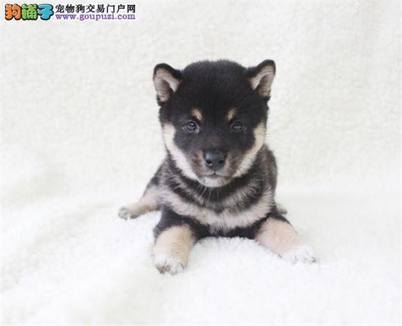 北京纯种日系柴犬幼犬出售,正宗血统品相极好