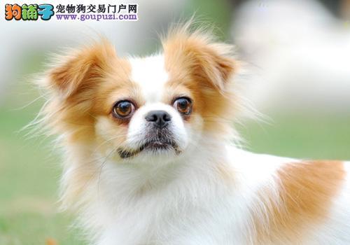 哪里有卖纯种蝴蝶犬的 超小的蝴蝶宝宝成年2斤左右