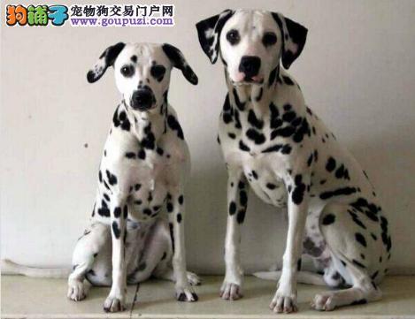 哈尔滨黑白闪烁斑点狗 保证品质 动作灵敏大麦町犬出售