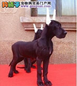 昆明正宗大丹犬花丹黑丹金丹出售、可见大狗、可视频上门1