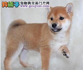 钻石柴犬 专业日本柴犬出售 冠军品质赛级血统 签协议