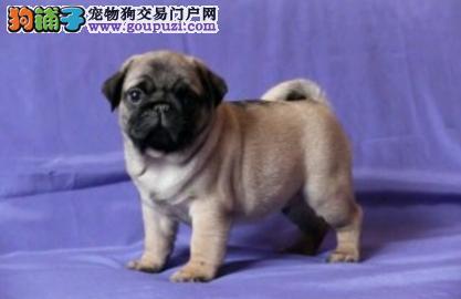 家养极品巴哥犬出售 可见父母颜色齐全国际血统证书