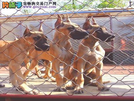 出售多只优秀的大丹犬上海可上门我们承诺终身免费售后