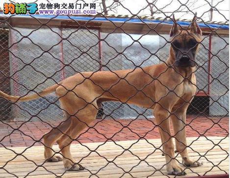 国际注册犬舍 出售极品赛级大丹犬幼犬喜欢的别错过