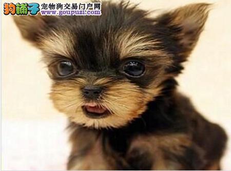出售多种颜色纯种约克夏幼犬诚信经营良心售后