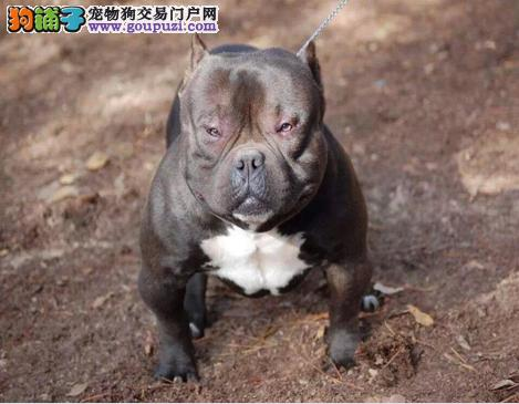郑州CKU认证犬舍出售高品质美国恶霸犬真实照片视频挑选
