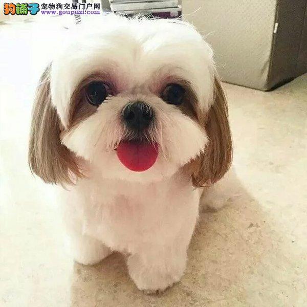 杭州出售西施犬公母都有品质一流欢迎您的光临3