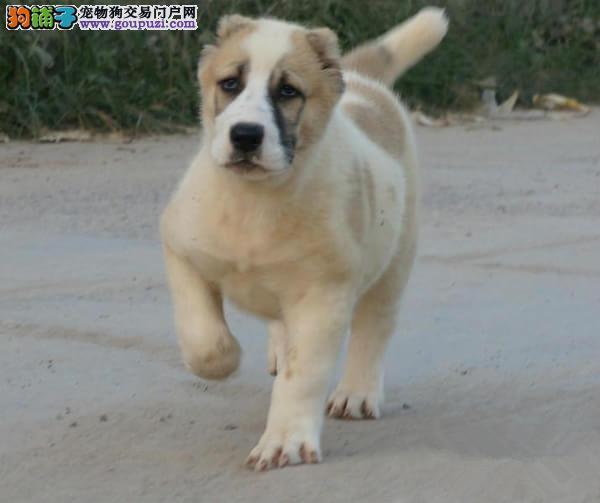 完美品相血统纯正中亚牧羊犬出售国际血统认证