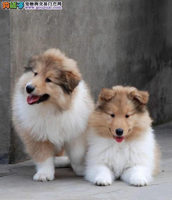 韶关买纯种苏格兰牧羊犬 完美售后 CKU犬舍品质保障