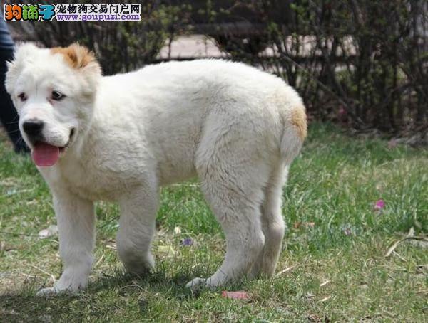 出售青岛中亚牧羊犬专业缔造完美品质可签订活体销售协议
