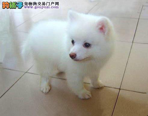 银狐犬的鼻子长红点是怎么了