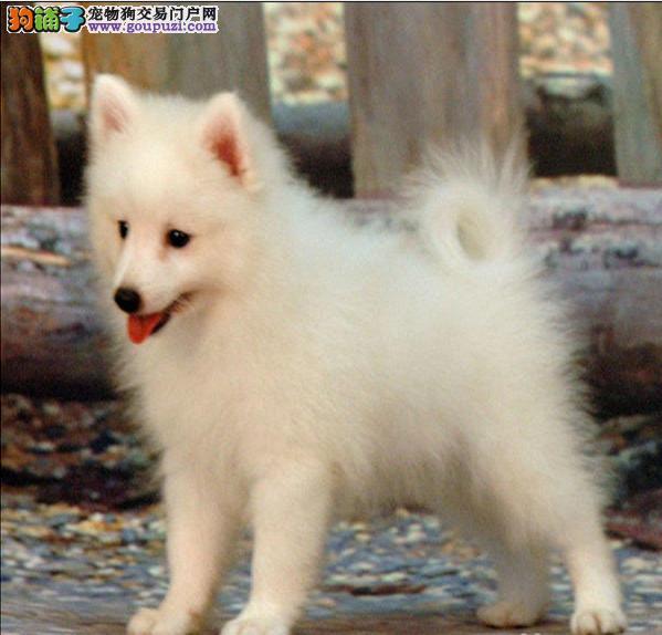 银狐犬的身上出现很多湿疹应如何解决