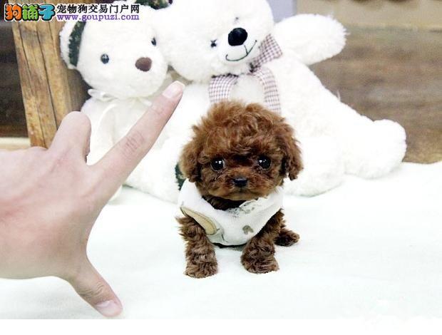 石家庄知名犬舍出售多只赛级茶杯犬微信咨询看狗